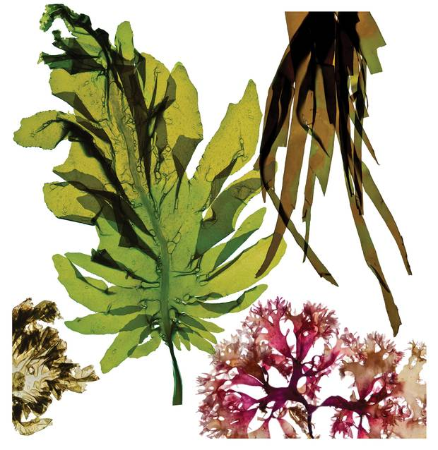 Seaweed, categorized as red, green or brown algae, are high in vitamins, minerals and many other nutrients.
