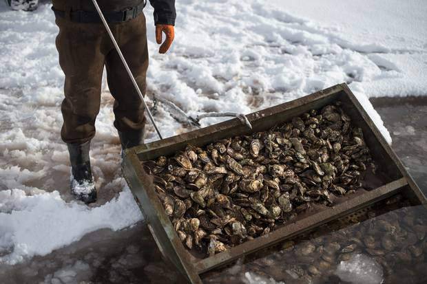 The men were supposed to harvest more, but some trays get temporarily lost under the ice. They'll find them again in the spring.