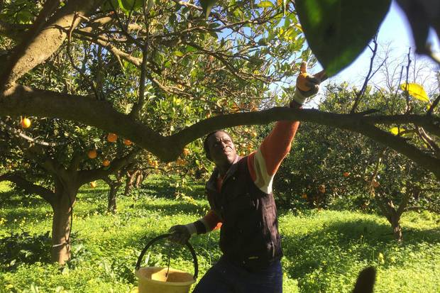 Pape Badji from Dakar, Senegal, picks oranges in a field in Rosarno, Italy, owned by a co-operative created by Calabrian farmers to help migrants avoid being exploited. Thousands of mostly African migrants who work in Calabria during the fruit-picking season live on meager wages and in squalid conditions.