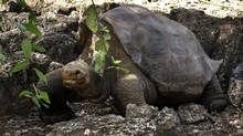 "In this July 21, 2008 file photo released by Galapagos National Park, a giant tortoise named ""Lonesome George"" is seen in the Galapagos islands, an archipelago off Ecuador's Pacific coast. Lonesome George, the late reptile prince of the Galapagos Islands, may be dead, but scientists now say he may not be the last giant tortoise of his species after all. (Galapagos National Park/AP)"
