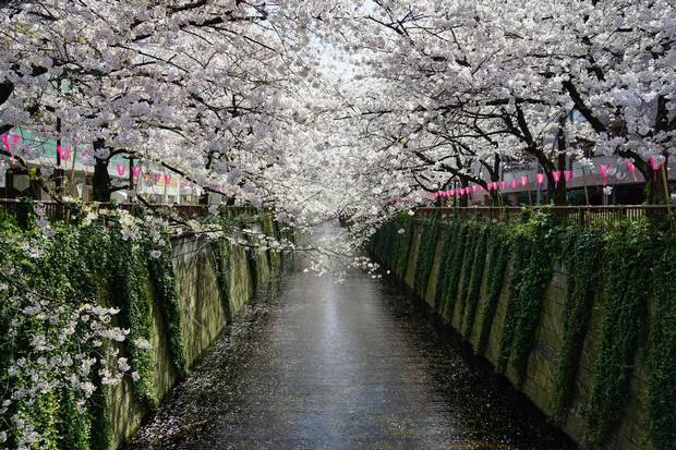 Meguro Canal is a popular - and free - place to see cherry blossoms in Tokyo.