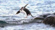 Penguin jumping into water (Jupiterimages/Getty Images/Photos.com)