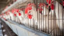 The Pullet Growers of Canada wants the federal government to okay the country's first new supply management agency in nearly three decades. Pullets are young hens raised specifically to lay eggs for human consumption. (Ryan Rodrick Beiler/Getty Images/iStockphoto)