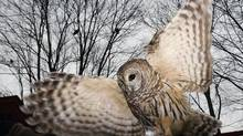 Vilma, an injured Barred Owl, spreads her wings at the Raptor Trust, a bird sanctuary and rehabilitation center about 30 miles west of New York City in Millington, New Jersey December 12, 2006. The Raptor Trust has helped more than 85,000 birds releasing about 60 per cent back into the wild since being founded more than 40-years-ago by ornotholgist Len Soucy who is the director of the center. (MIKE SEGAR/REUTERS)
