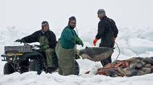 Hunters gather pelts as the annual East Coast seal hunt starts in the Gulf of St. Lawrence on March 23, 2009. (ANDREW VAUGHAN/Andrew Vaughan/The Canadian Press)