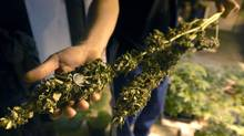Federal health minister Leona Aglukkaq announced Sunday in Vancouver that Health Canada will no longer produce and distribute marijuana for medical purposes (DARRYL JAMES/THE GLOBE AND MAIL)