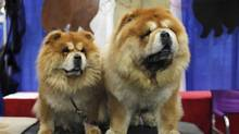 Chow Chow breeds are displayed during the American Kennel Club's Meet the Breeds event in New York. (EDUARDO MUNOZ/REUTERS)