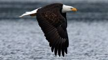 A mature bald eagle takes flight during the Fraser Valley Bald Eagle Festival in the Chehalis Estuary near Harrison Mills, BC, November 21, 2009. (Lyle Stafford for the Globe and Mail/Lyle Stafford for the Globe and Mail)