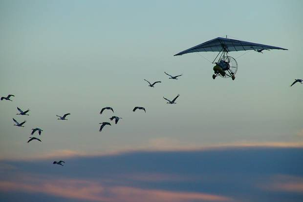 Bill Lishman flying with whooping cranes.