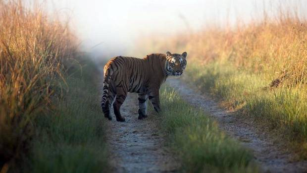 One of India's 1,706 tigers, at a tiger reserve in Corbett National Park. (Corbett Tiger Reserve/Associated Press)