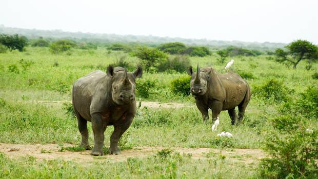 Only 5,000 black rhinos and about 20,000 white rhinos remain in all of Africa.