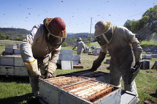 The Anderson family works among bee boxes in California.
