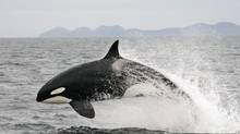 The Institute of Ocean Sciences has been doing groundbreaking work, including a paper showing killer whales in the northeastern Pacific are among the world's most contaminated marine mammals. (Jared Towers/AP)