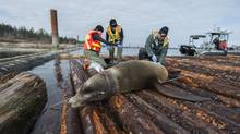 A tranquilized sea lion awaits release after rescuers removed a plastic packaging strap from around his neck, March 11, 2014. (Neil Fisher/Vancouver Aquarium)