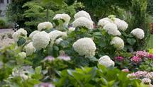 """Incrediball"" hydrangeas are a new varietal of the popular flower."