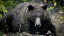 A grizzly bear sow in the Bella Coola Valley near Tweedsmiur Park Lodge October 8, 2011. (John Lehmann/The Globe and Mail) (JOHN LEHMANN/The Globe and Mail)