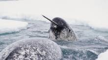 A Narwhal swims through ice during spring migration in this undated file photo. A New Brunswick man was given a record fine in October 2013 after an Environment Canada investigation found he had smuggled more than 250 narwhal tusks into Canada from the U.S. (HANDOUT/HARVARD MEDICAL SCHOOL/REUTERS)