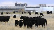 Cattle in pasture beside XL Foods' Lakeside Packers plant at Brooks, Alta., on Monday. (LARRY MacDOUGAL/THE CANADIAN PRESS)