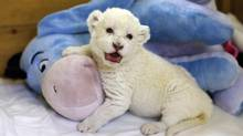 An eight-day-old white lion cub plays with a plush toy donkey at Belgrade's Good Hope Garden zoo. (MARKO DJURICA/REUTERS)