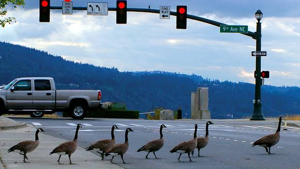 http://beta.images.theglobeandmail.com/0cc/migration_catalog/article3934912.ece/ALTERNATES/w620/geese-crosswalk.jpg