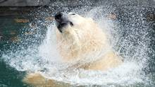 Ten-year-old polar bear Eddy shakes off water as he enjoys a dip in a new pool at the Parc Aquarium in Quebec City. A new environment has been created to encourage Eddy and a female, Tiguak, to mate. (Jacques Boissinot/The Canadian Press)