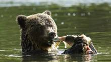 To increase your odds of seeing a grizzly bear in B.C., check out the more than 40 bear-viewing operations in the province. (Michael Wigle for The Globe and Mail/Michael Wigle for The Globe and Mail)