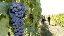 A bunch of grapes is seen during the harvest in Fabbri's vineyard in the Chiantishire in Tuscany, south of Florence, October 4, 2011. (Giampiero Sposito / Reuters/Giampiero Sposito / Reuters)