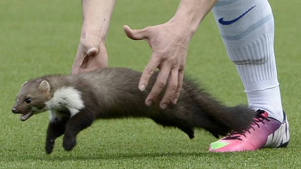 Zurich soccer player Loris Benito tries to catch a marten during the Swiss Super League match between FC Thun and FC Zurich in the stadium in Thun, Switzerland, Sunday March 10, 2013. (Associated Press)