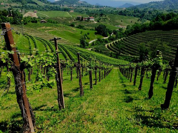 The increasingly steep hills between Conegliano and Valdobbiadene are largely covered with glera vines, harvested to make prosecco.