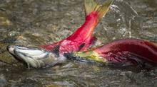 Sockeye salmon make their way up the Adams River at Roderick Haig-Brown Provincial Park north of Chase, B.C. (JOHN LEHMANN/The Globe and Mail)