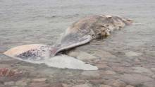 A sperm whale carcass that sat on the shore in Cape St. George, Nfld., has floated away (Michael Fenwick/The Canadian Press)