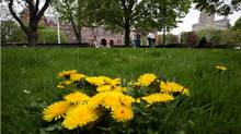 The once green and pristine lawn at Queens Park in Toronto, Ontario, Canada is now home to many patches of dandelions since the pesticide ban. (Deborah Baic/The Globe and Mail)