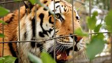 Vitali, a two-year-old male tiger, stretches his jaws in his enclosure at the Calgary Zoo in Calgary, Monday, Oct. 5, 2009. A man was mauled by the tiger following a break-in at the Calgary Zoo early Monday morning. THE CANADIAN PRESS/Jeff McIntosh (Jeff McIntosh/The Canadian Press)