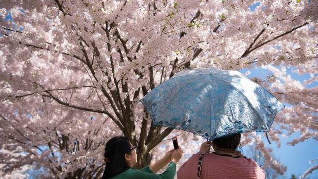 Two women take photos of cherry blossoms at Toronto's High Park Sunday, May 5. The park was filled with sight-seers as the area experienced warm temperatures. (Graeme Roy/The Canadian Press)