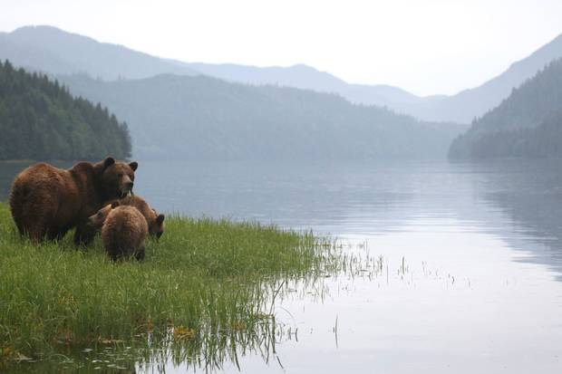 A new dietary study of grizzly and black bears has given researchers an unprecedented snapshot of the relationship between the animals and one of their major food sources, salmon, in British Columbia.