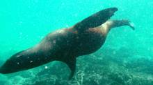 A sea lion darts through the water in and around the Galapagos Islands. (Sean Stanleigh)