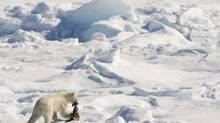 A polar bear drags a seal along the ice floe in Baffin Bay. (JONATHAN HAYWARD/THE CANADIAN PRESS)