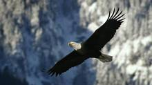 A bald eagle in flight above Brackendale, B.C. December 28, 2006. (John Lehmann/ The Globe and Mail/John Lehmann/ The Globe and Mail)