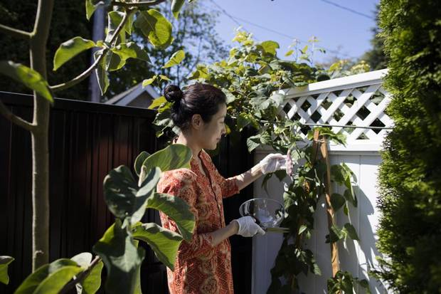 Cindy Liu harvests peas from the garden at her home in Vancouver.