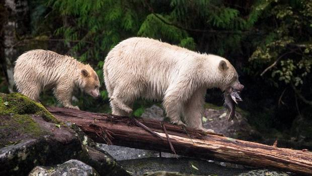 A Kermode bear cub is taught how to fish by its mother in B.C.'s Great Bear Rainforest.