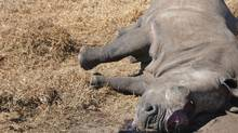A rhinoceros lies dead after being killed at Krugersdorp Nature Reserve outside Johannesburg July 14, 2010. (REUTERS/Handout/REUTERS/Handout)