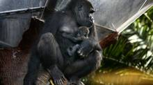 Ngozi, a western lowland gorilla at the Toronto Zoo holds his 2 month old baby gorilla Nassir in Toronto on Nov. 18 2009. (Fernando Morales/The Globe and Mail)
