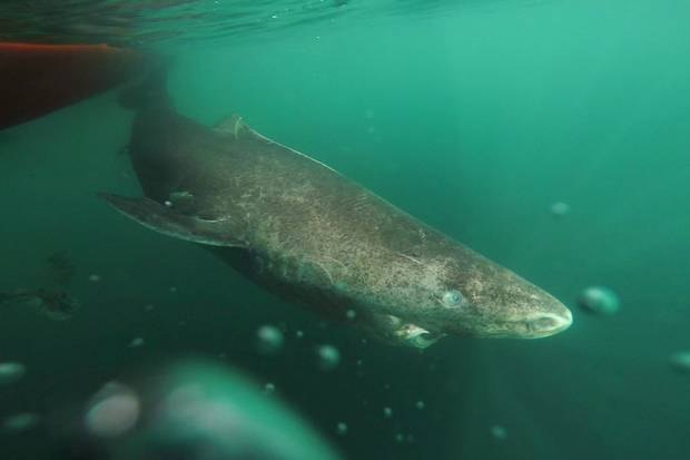 This undated photo made available by Julius Nielsen on Aug. 11, 2016 shows a Greenland shark slowly swimming away from a boat, returning to the deep and cold waters of the Uummannaq Fjord in northwestern Greenland during tag -and- release program in Norway and Greenland.