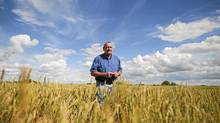 Allen Oberg, chair of Canadian Wheat Board walks through one of his wheat fields, near Forestburg, Alberta on Thursday, Aug. 19, 2011. (John Ulan/John Ulan for The Globe and Mail)