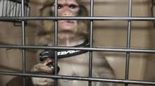 Darwin, the monkey is pictured in this handout photo taken by Toronto Animal Services, December 10, 2012. (HANDOUT/Reuters)