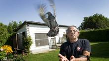 Tony Puopolo has been keeping pigeons in his Pickering backyard for two decades. (Kevin Van Paassen/The Globe and Mail)
