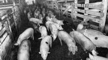 Pigs at the Ontario Stockyards in Toronto, March 14, 1984. (Edward Regan/The Globe and Mail)