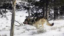 In 1995, the first 14 grey wolves from Jasper National Park were reintroduced in Yellowstone National Park (HOPD/The Associated Press)