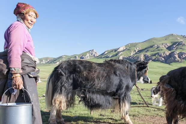 Tibetan nomads are up at sunsrise to milk and care for their yaks. The yaks are an essential source of food, dairy products, wool and fuel from the dung.