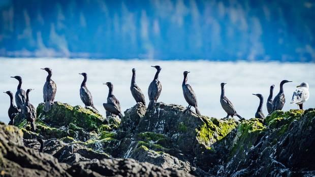 Cormorants near Kay Llnagaay.